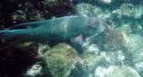 Streamer Hogfish.jpg