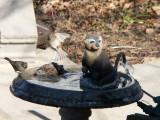 Three stooges in the bird bath