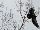 Eagles at Red Rock dam