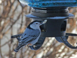 Nuthatch and seed