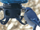 Blue jay and seed