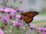 Monarch and aster