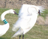 Grouchy Swan