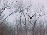 Eagle in Mist Below Lake Red Rock