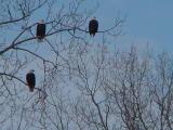 Three eagles, Gladys Black eagle sanctuary