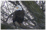 Bald eagle in cottonwood