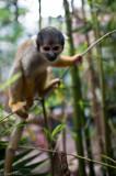 Macaco
