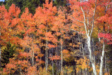 Line Of Red Aspens