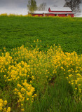 Yellow Flowers and Red Barn-Franklin County