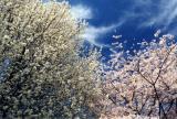 Spring Blooms Behind The Old Blacksburg High School On Patrick Henry Drive