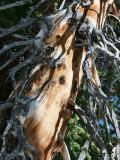 Mountain Pine