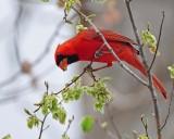 Cardinal feeding on elm seeds