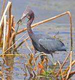 Little Blue Heron with a snack