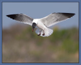 hovering laughing gull