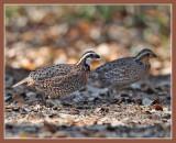 Bobwhite quail