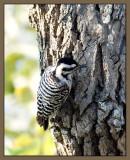 Female Ladderback Woodpecker