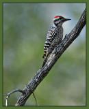 Male Ladderback Woodpecker