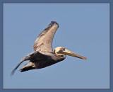 more pelican
