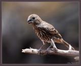 female house finch (Pedernales falls SP)