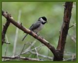 black capped chickadee (Pedernales falls SP)