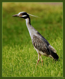 Yellow Crowned Night Heron in the front yard