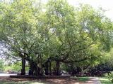 A big tree at Gandhi Memorial