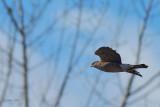 Epervier (cooper ou brun?) Hawk, sharp-shinned or Cooper's