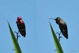 Colibri d'Anna (Anna's Hummingbird)