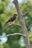 Faucon émérillon (Merlin)