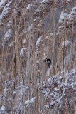 Mésange à tête noire (Black-capped chickadee)