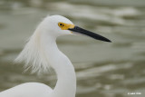 Aigrette neigeuse (Snowy egret)