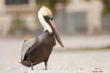 Pélican brun (Brown pelican)