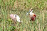 Spatule rosée (Roseate Spoonbill)