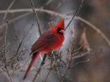 Cardinals, Grosbeaks, Buntings, & Dickcissels
