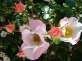 ROSE carefree wonder