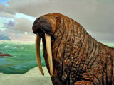 Walrus, American Museum of Natural History