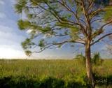Loxahatchee-Tree