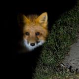 Hallowe'en Visitor, a fox