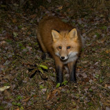 Fox on the fallen leaves 2008 October 31