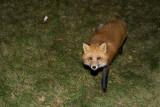 Fox on grass 2008 October 31