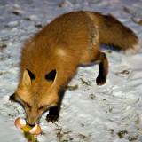 Fox eating egg
