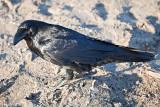 Raven on gravel
