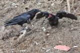 Juvenile raven begging