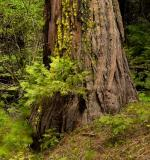 Giant Redwood with Small One
