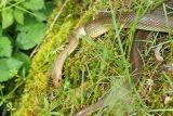 Une couleuvre découverte sur le bord du canal de Bourgogne