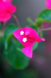 Bougainvillea