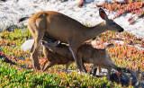 Deer & Deerlings