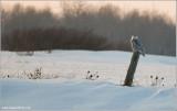 Snowy Owl 42