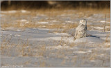 Snowy Owl 45