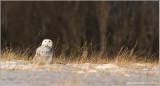 Snowy Owl 47
